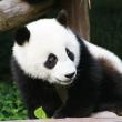 Poznámkový kalendář Pandy 2022, 30 × 30 cm